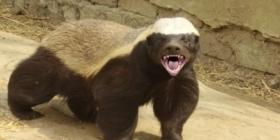 Honey Badger Afrika