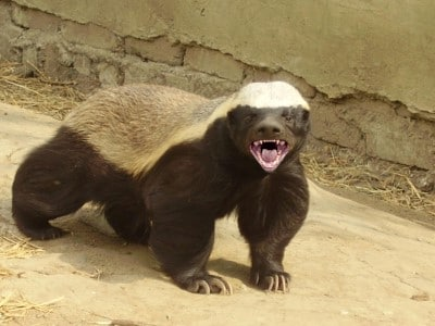 honey-badger