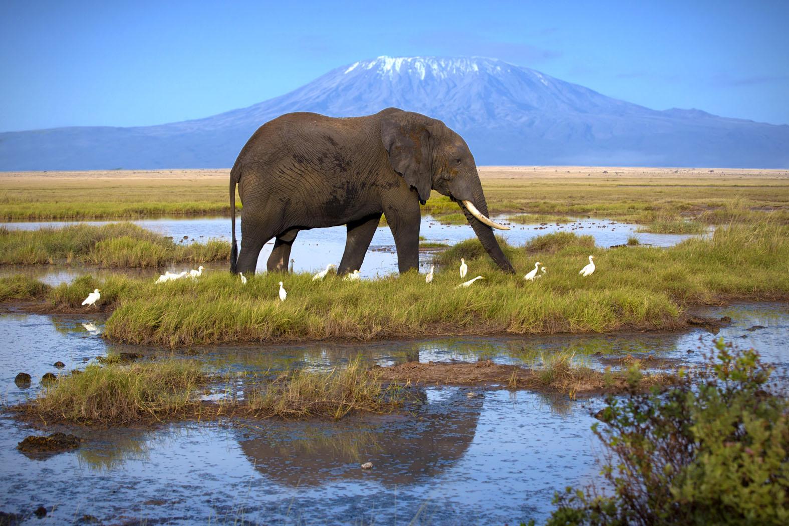 Individuele reizen Tanzani - Olifant met Kilimanjaro op de achtergrond