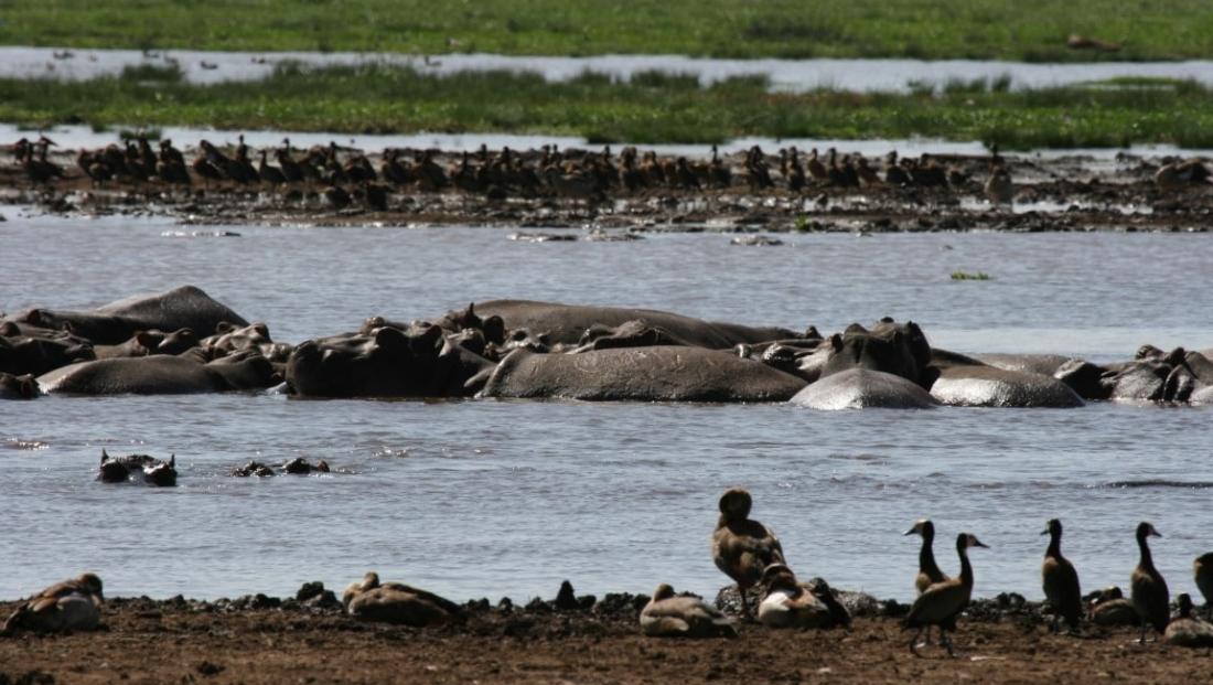 Lake Manyara - groep nijlpaarden