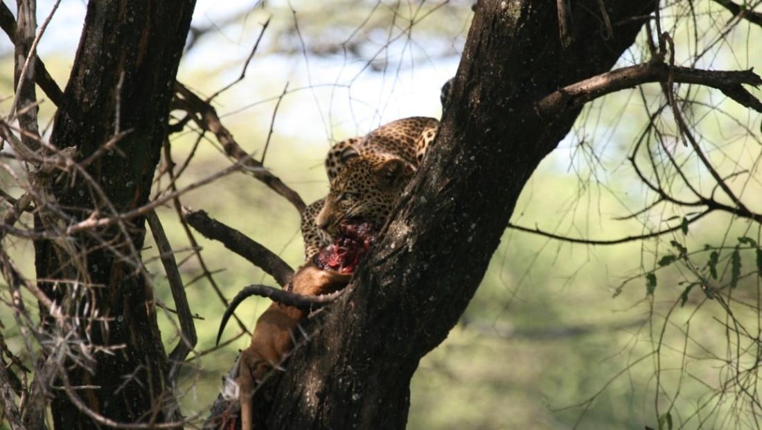 Lake Manyara - luipaard met prooi in boom