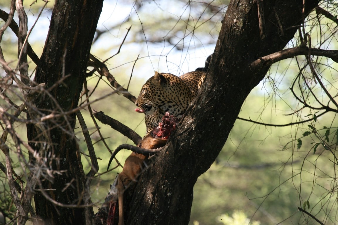 Safari en strand reizen Tanzania - Luipaard in boom in Lake Manyara National Park