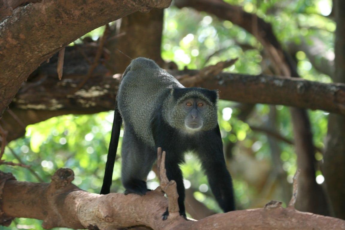 Individuele reizen Tanzania - Bijzondere apen in Lake Manyara National Park