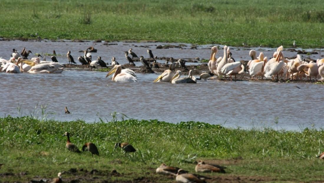 Lake Manyara - Pelikanen