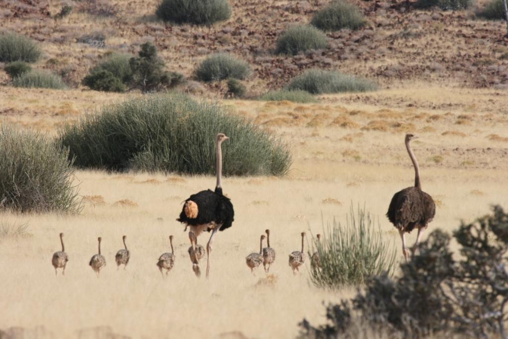 Struisvogels familie