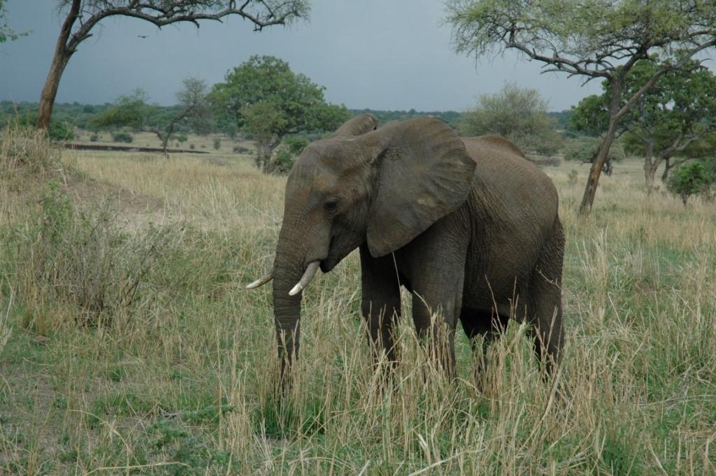 Olifant in het Tarangire National Park - Rondreis door noordelijk Tanzania en Zanzibar