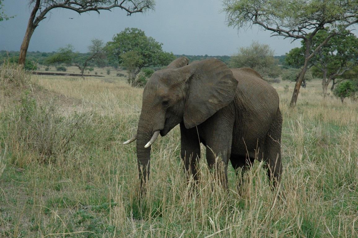 Familiereizen Tanzania - Olifant in Tarangire National Park