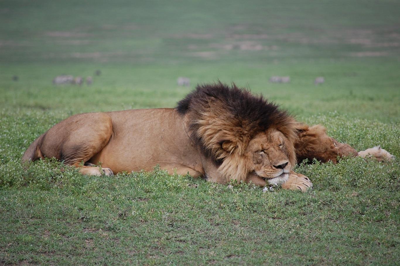 Individuele reizen Tanzania - Met eigen gids in de Ngorongoro Krater bij leeuwen