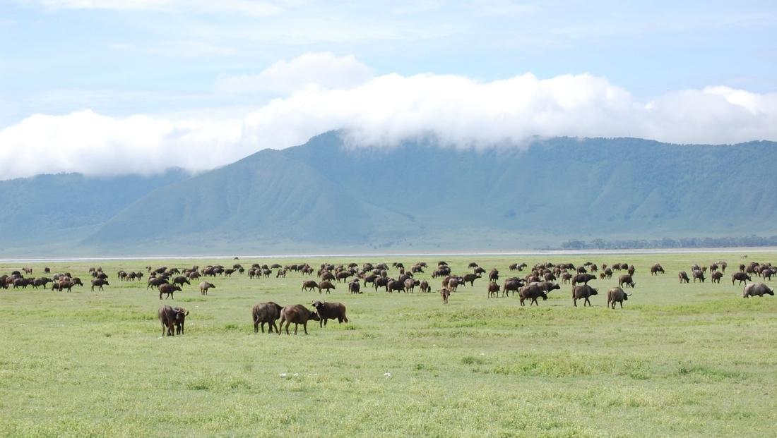 Ngorongoro Krater - buffels