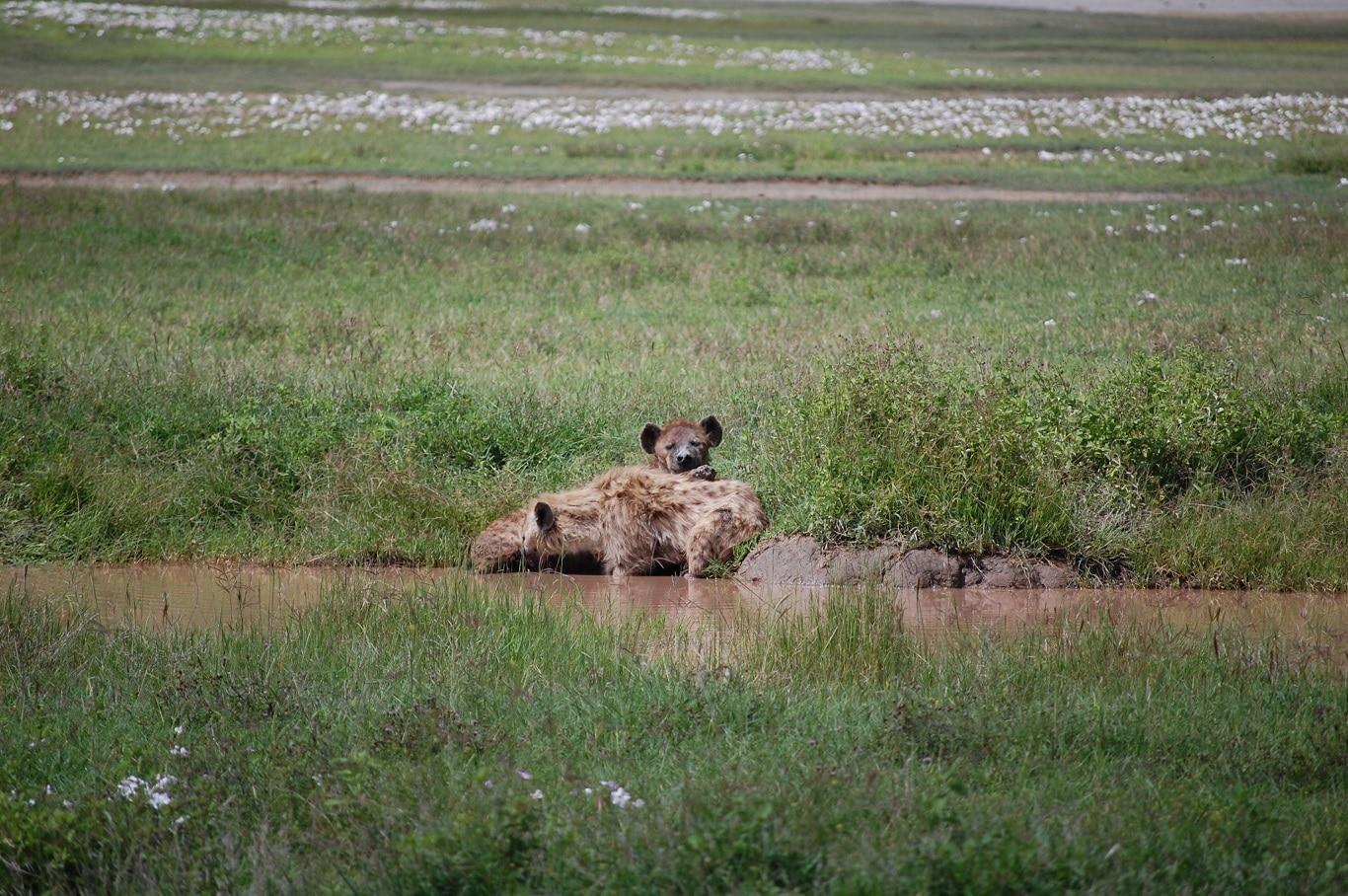 Huwelijksreizen Tanzania - Luierende hyena's in de Ngorongoro Krater