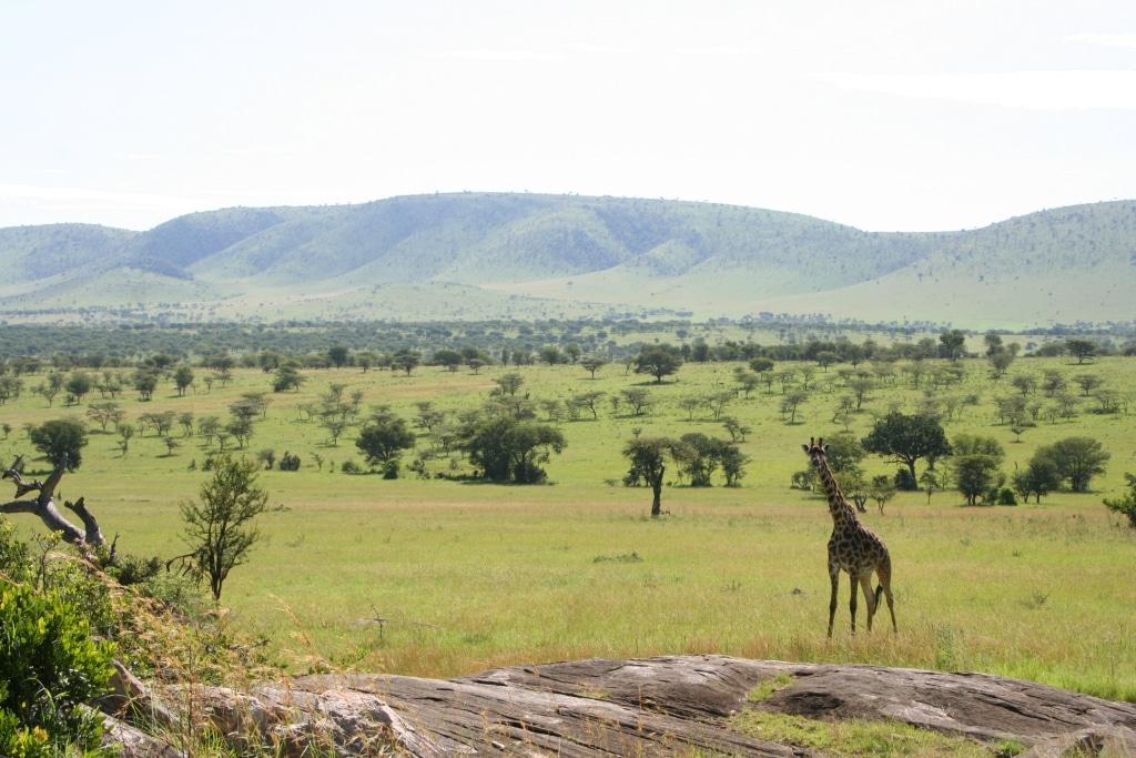 Serengeti, giraffe, safari, savanne - De mooiste huwelijksreisbestemmingen in Tanzania
