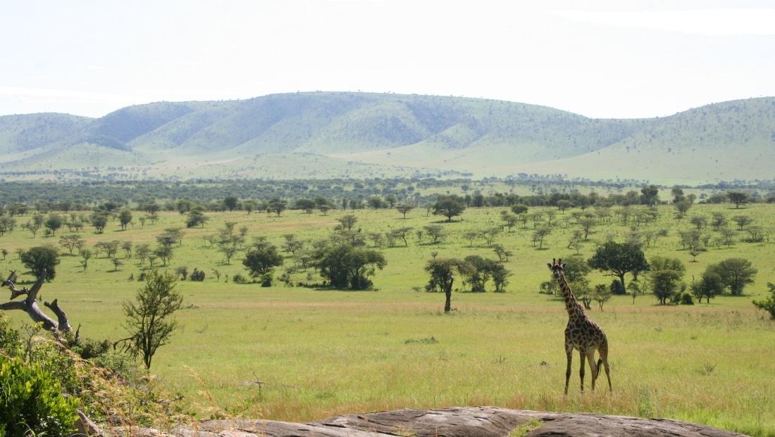 Serengeti NP - giraffe