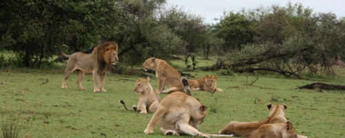 Serengeti NP - leeuwen