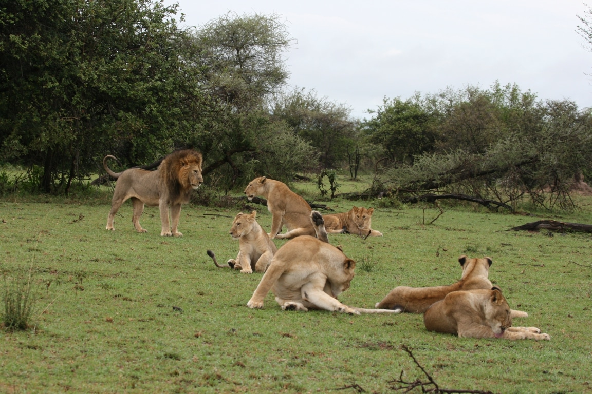 Huwelijksreizen Afrika - Leeuwen in Serengeti National Park