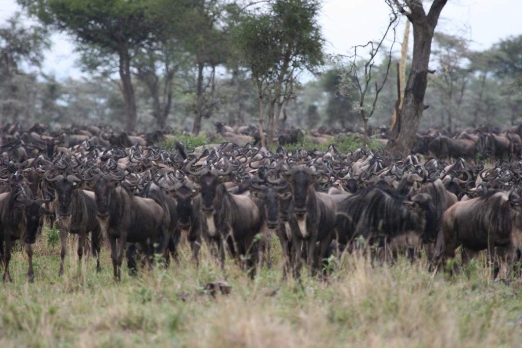 Gnoes, migratie, Serengeti, Tanzania - Rondreis door noordelijk Tanzania en Zanzibar