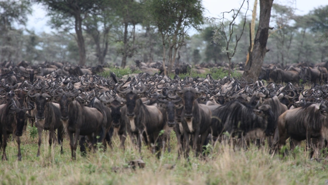 Serengeti NP - gnoes