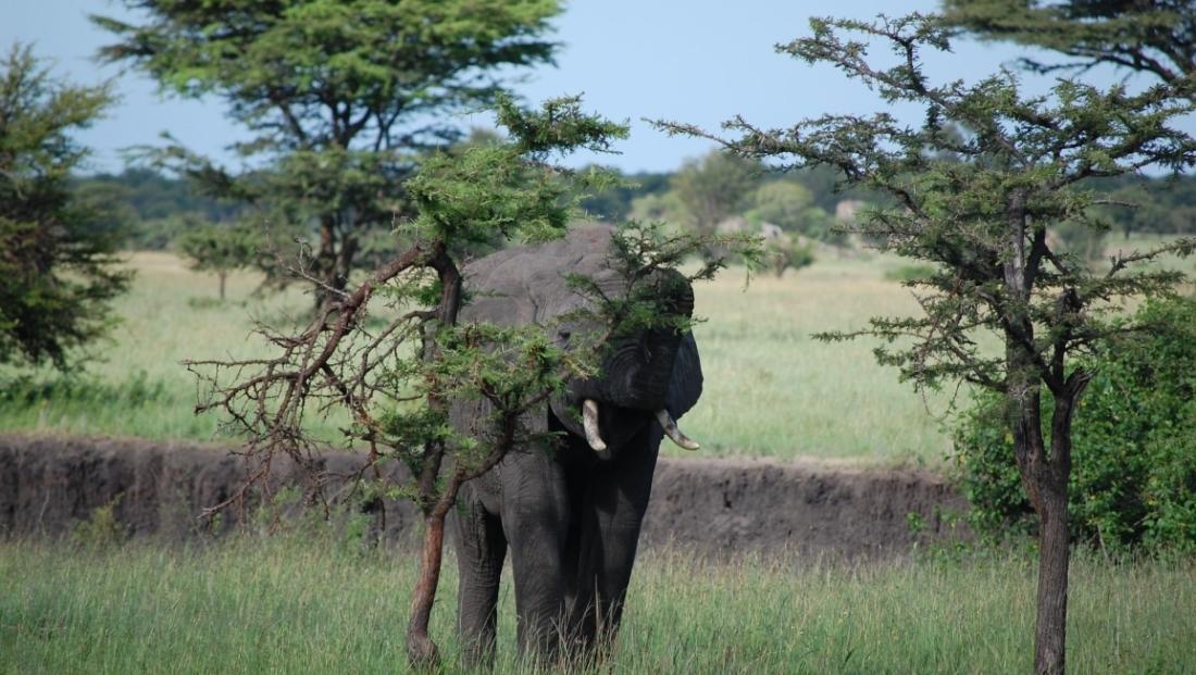 Serengeti NP - Olifant