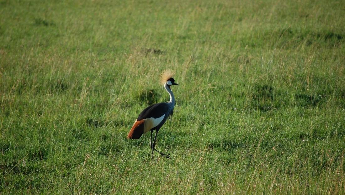 Serengeti NP - vogel