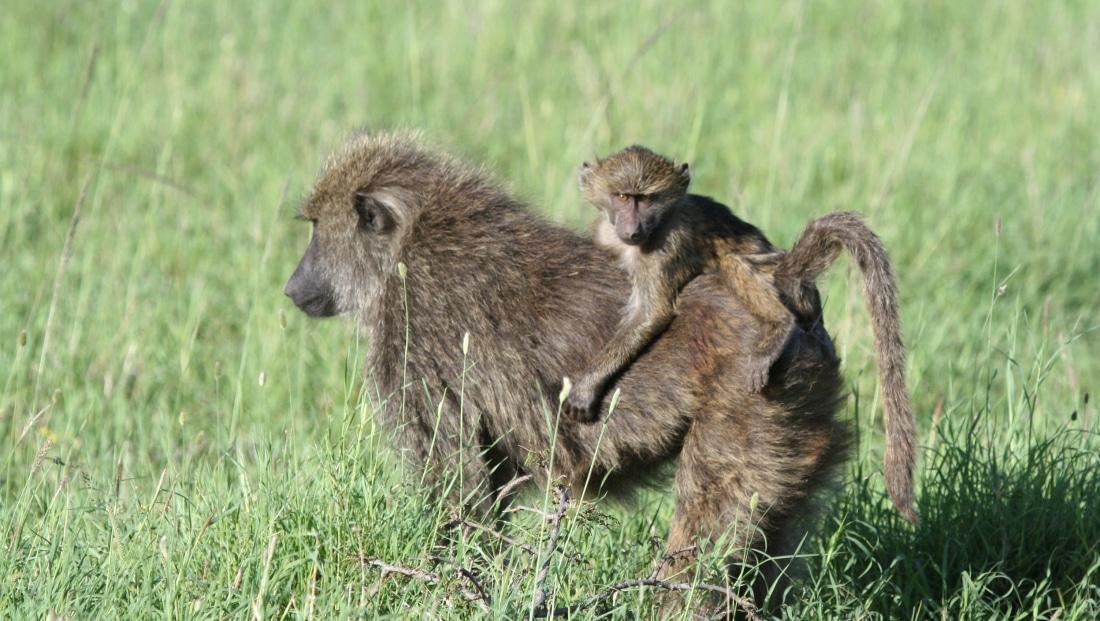 Serengeti NP - apen