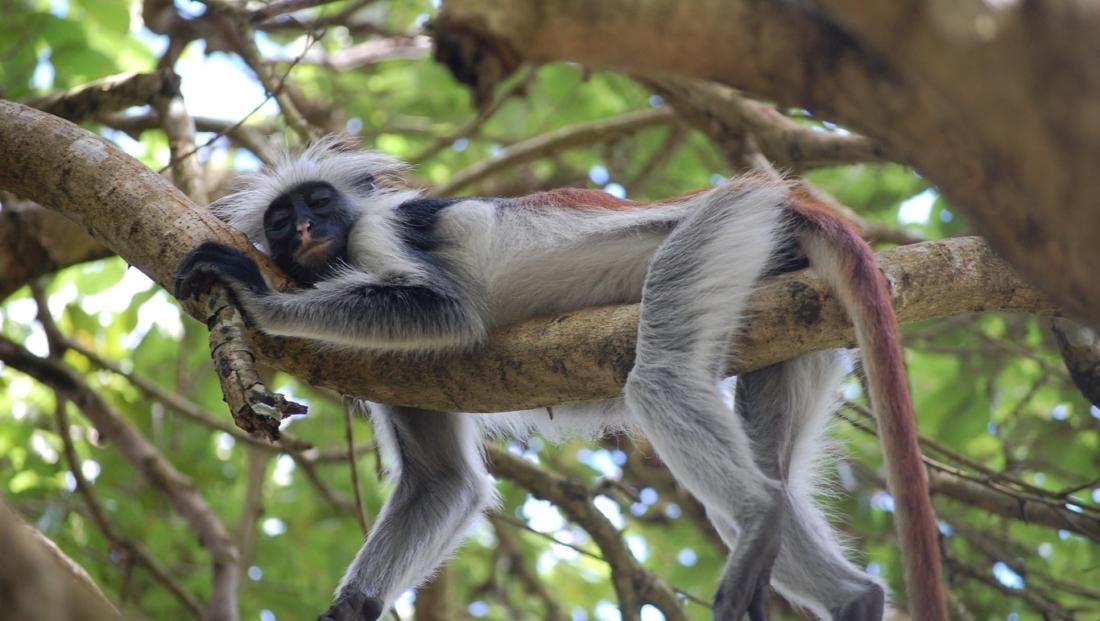 Zanzibar - luierend aapje