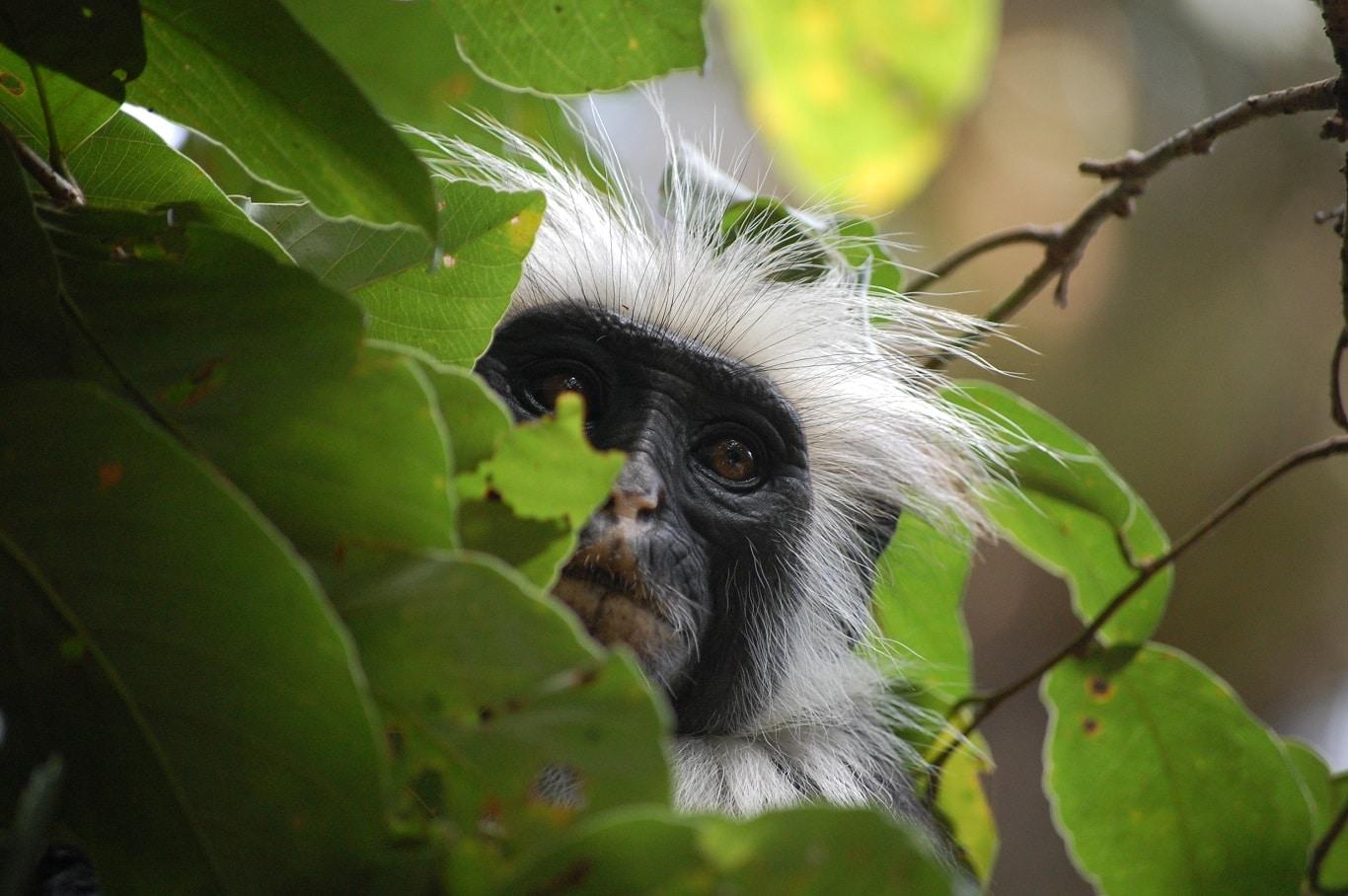 Huwelijksreizen Tanzania - Colobus aapje op Zanzibar