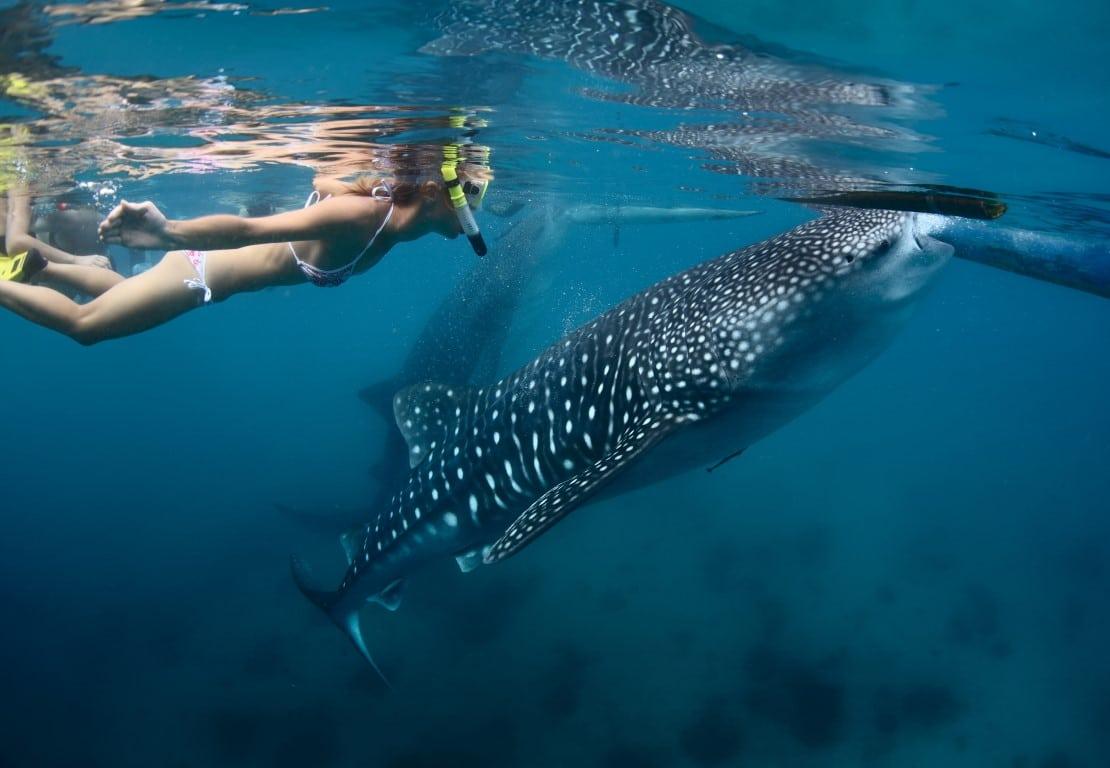 Het Weer en andere Tips voor uw reis naar Mozambique walvishaai (whale shark)