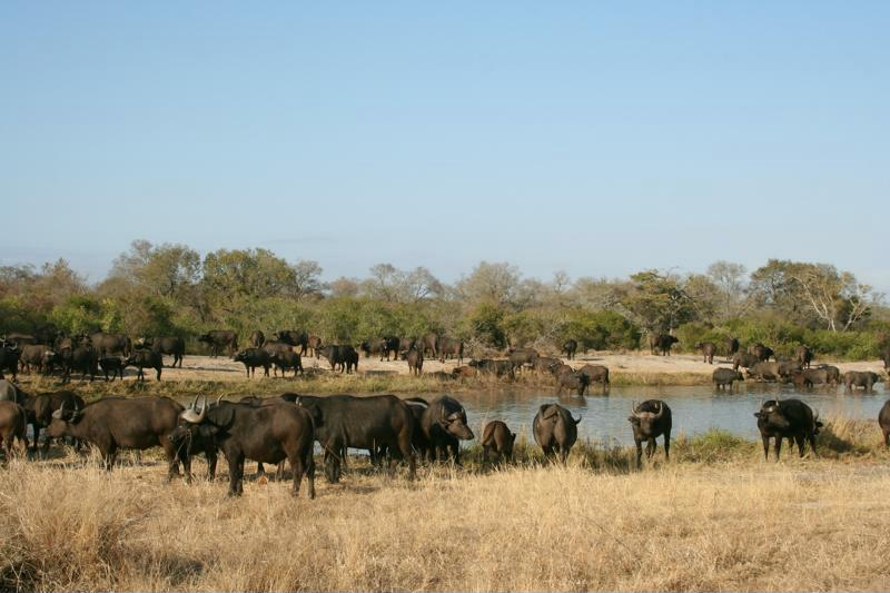 Zo spot je de Big Five in Zuid-Afrika buffel kudde buffels