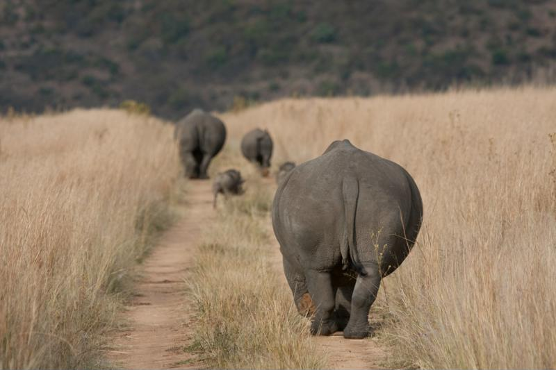Zo spot je de Big Five in Zuid-Afrika neushoorn