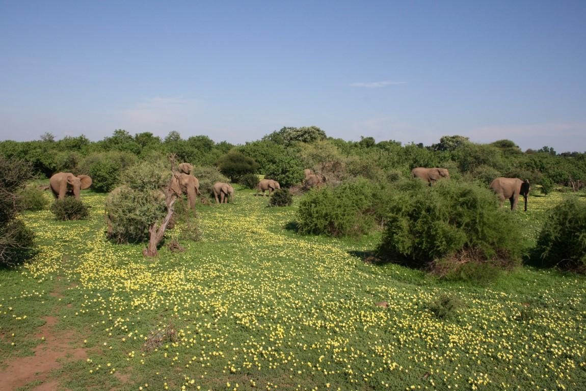Natuur in Zuid-Afrika - Olifanten in groene bush met bloemetjes in de Kalahari