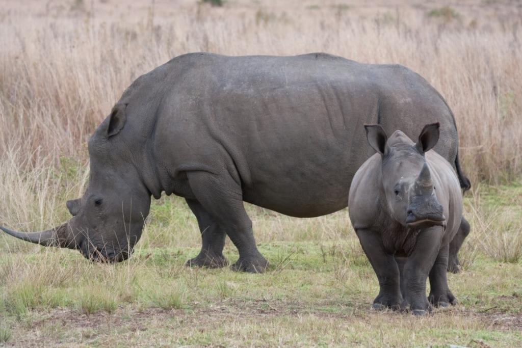 Zo spot je de Big 5 in Zuid-Afrika - witte neushoorn, bedreigd
