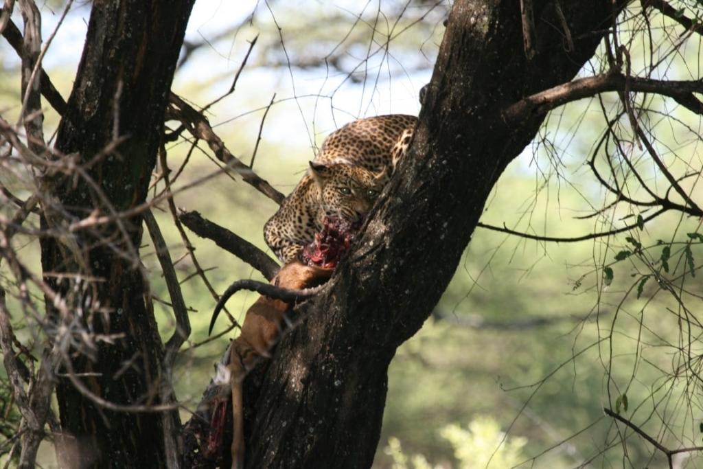 Luipaard, prooi, Lake Manyara, Tanzania - De mooiste natuurgebieden in Tanzania