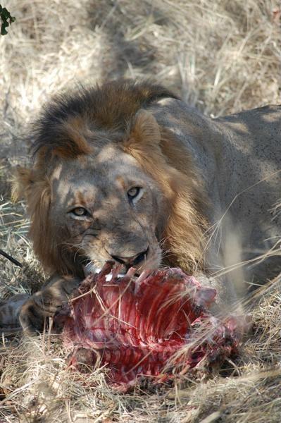 Leeuw, Zuid-Afrika - Wildparken in Zuid-Afrika