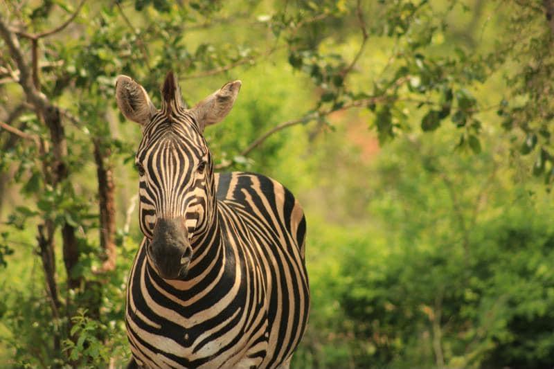 Zebra, Marakele National Park, Zuid-Afrika - Wildparken in Zuid-Afrika