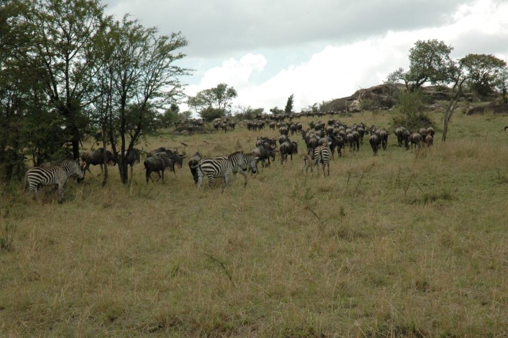 Gnoe, zebra, migratie, Serengeti, Tanzania - De mooiste natuurgebieden in Tanzania