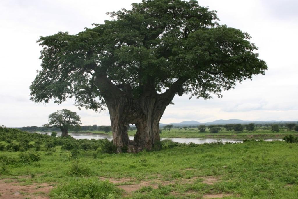 Baobab, Ruaha Game Reserve, Tanzania - De mooiste natuurgebieden in Tanzania