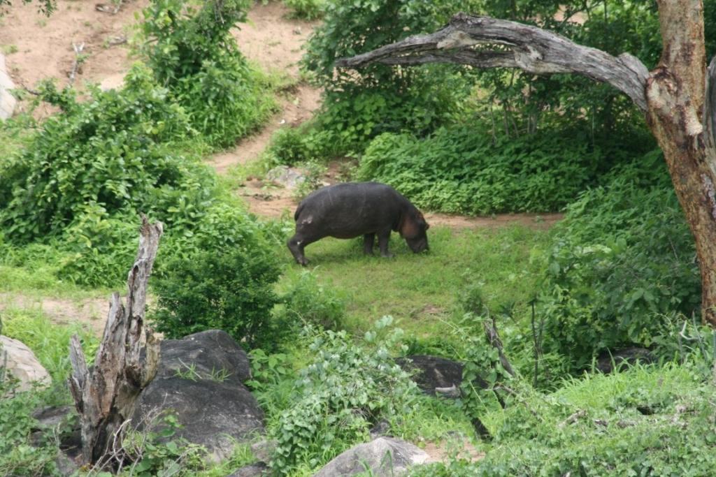 Nijlpaard, Ruaha Game Reserve, Tanzania - De mooiste natuurgebieden in Tanzania