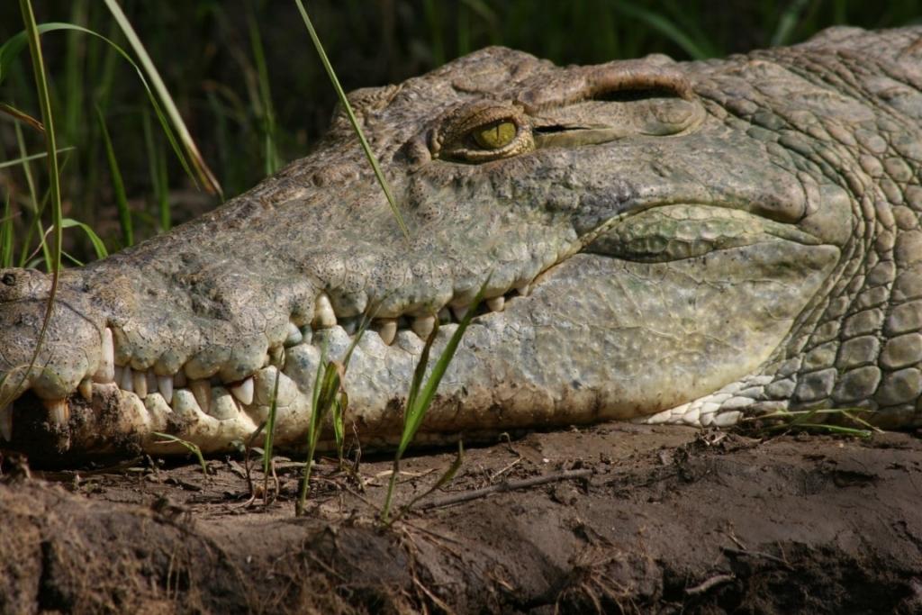 Krokodil, Selous Game Reserve, Tanzania - De mooiste natuurgebieden in Tanzania