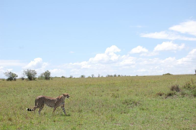 Kindvriendelijke reizen Tanzania - Cheetah tijdens een safari in de Serengeti