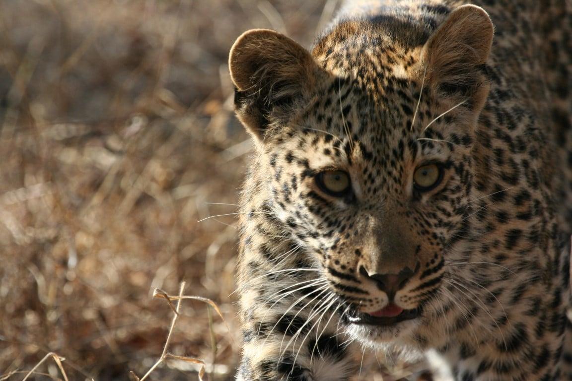 Luipaard - Combinatievakanties Afrika