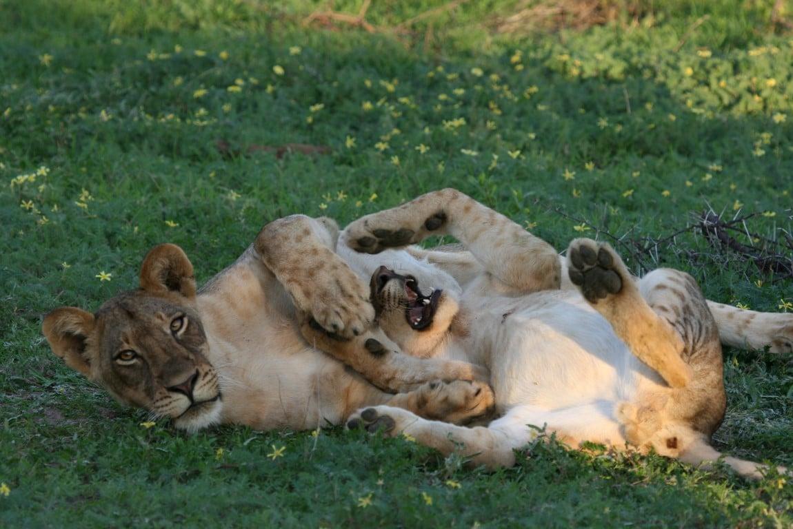Halvolwassen leeuwinnen in Botswana - Combinatie vakantie Afrika