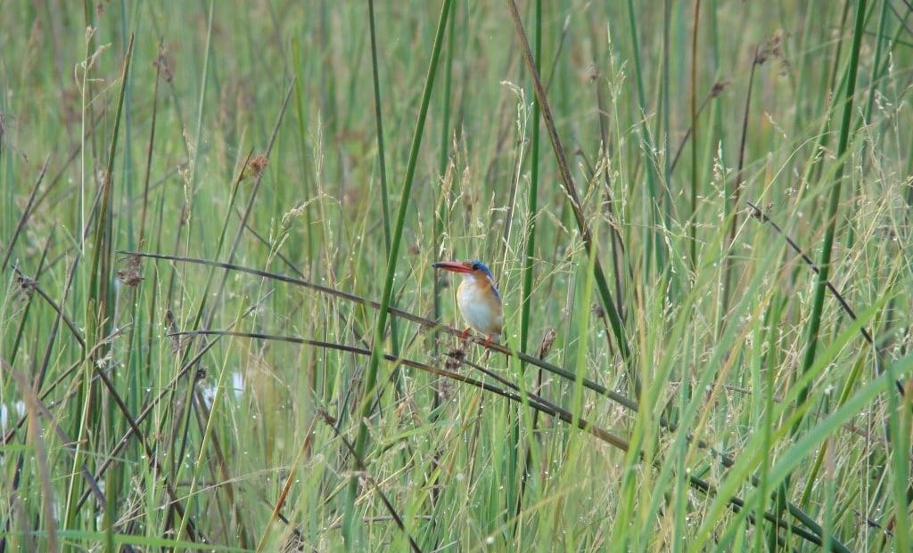 Caprivistrip - Malachite Kingfisher