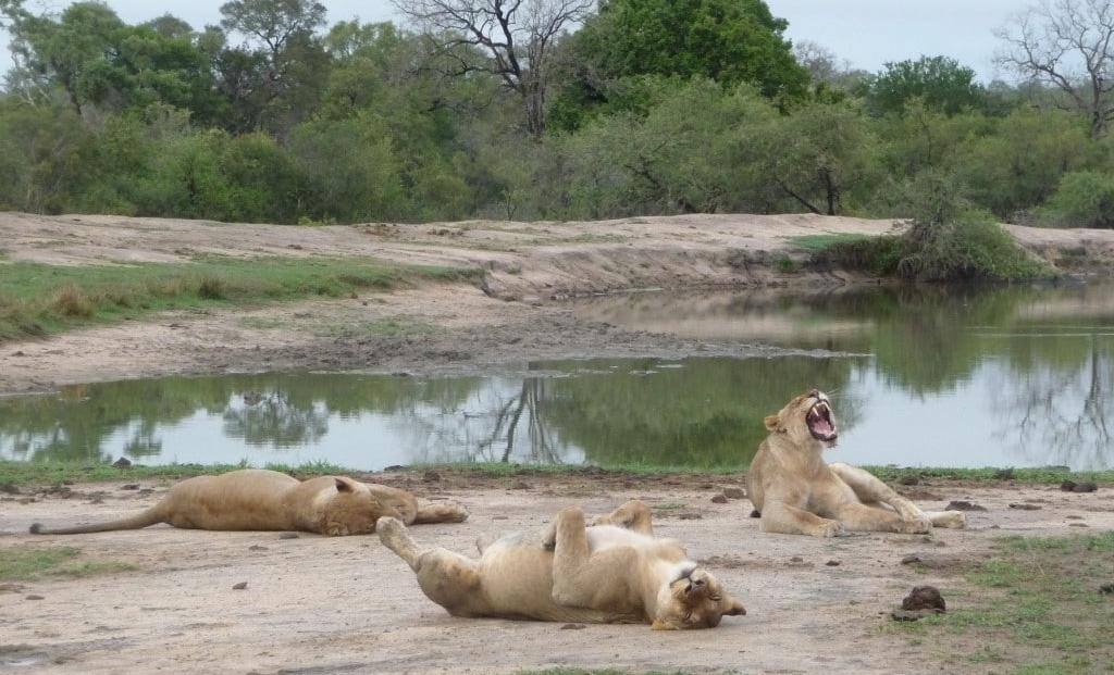 Kruger National Park - leeuwen na het eten