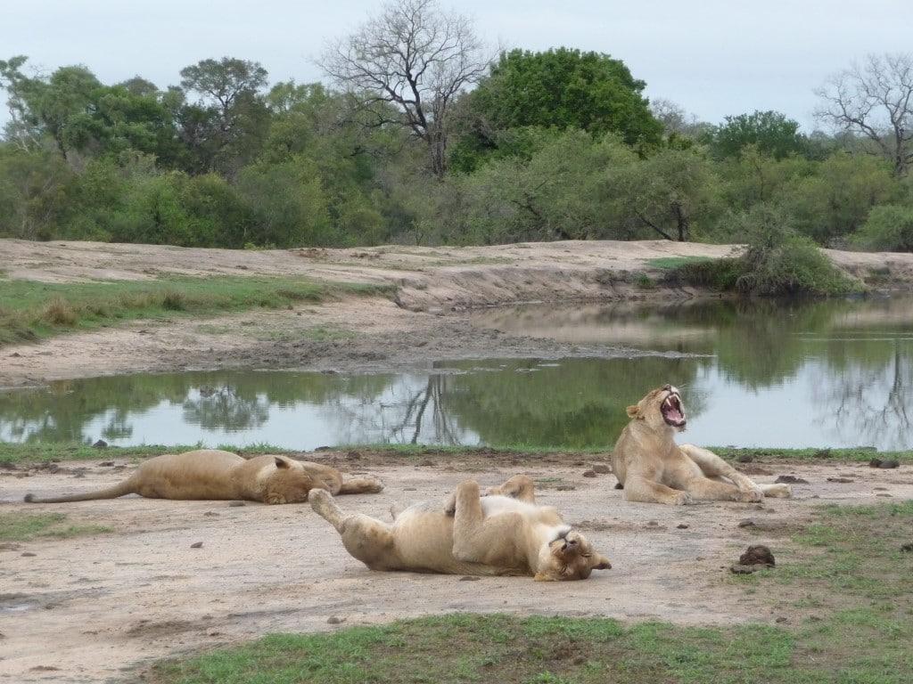Rondreizen Zuid-Afrika Mauritius - Kruger National Park, leeuwen na het eten