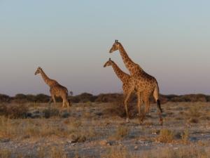 Henk & Ria - Giraffen Etosha