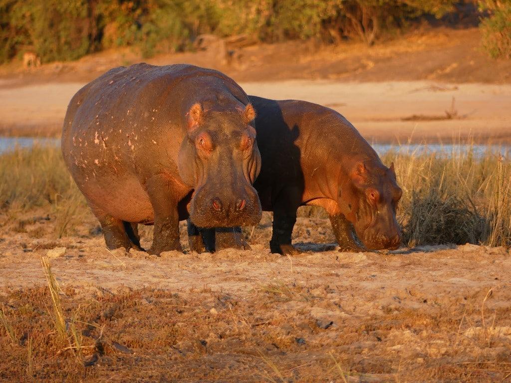 Henk & Ria - Nijlpaarden aan land