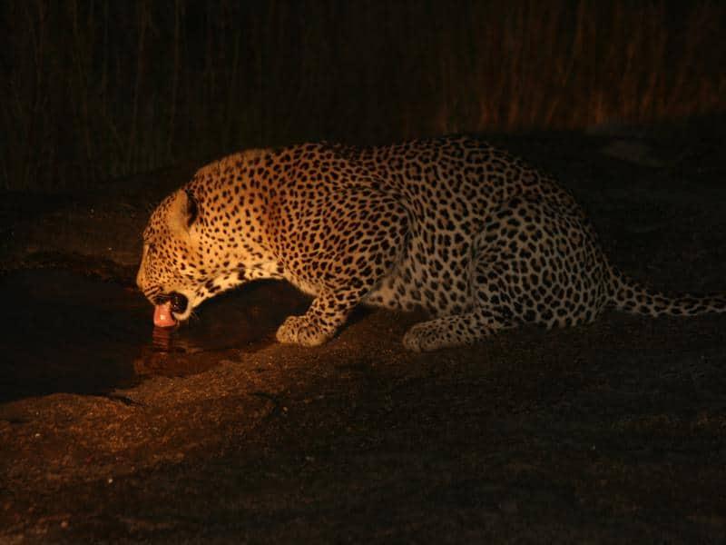 Luipaard, spotlight, night drive - Wat is een game drive?