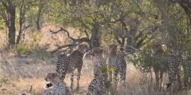 Teijgeler - Cheetahs