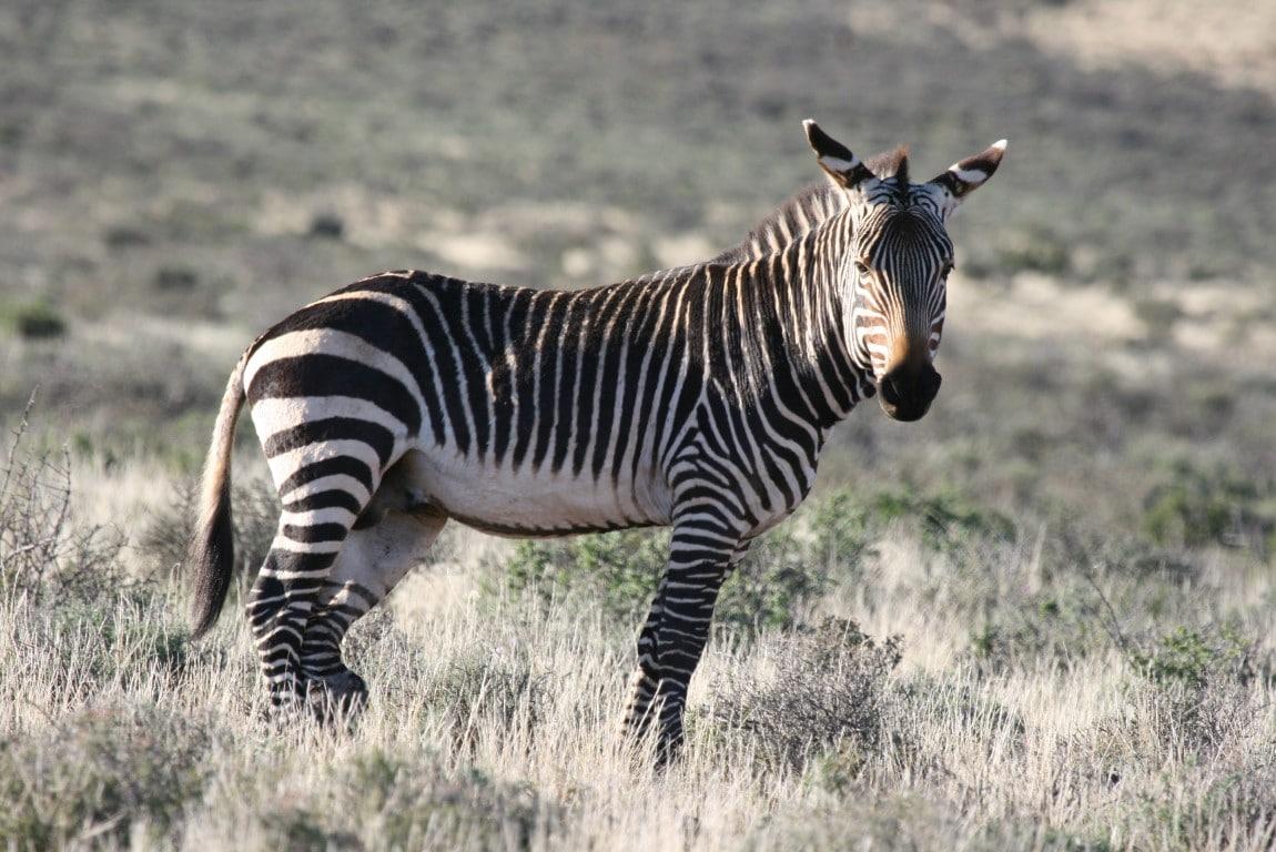 Out in Africa - nieuws uit afrika oktober - zebra zonder schaduw