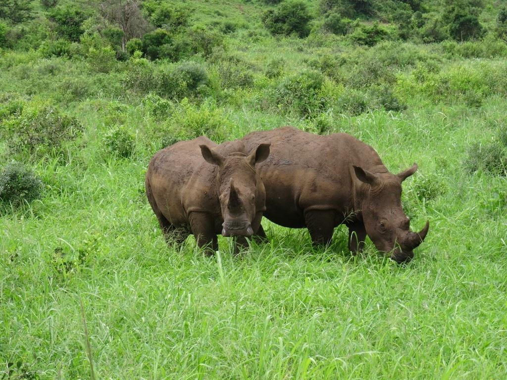 Witte neushoorns, moeder en kalf, Hluhluwe-Imfolozi Game Reserve, Zuid-Afrika