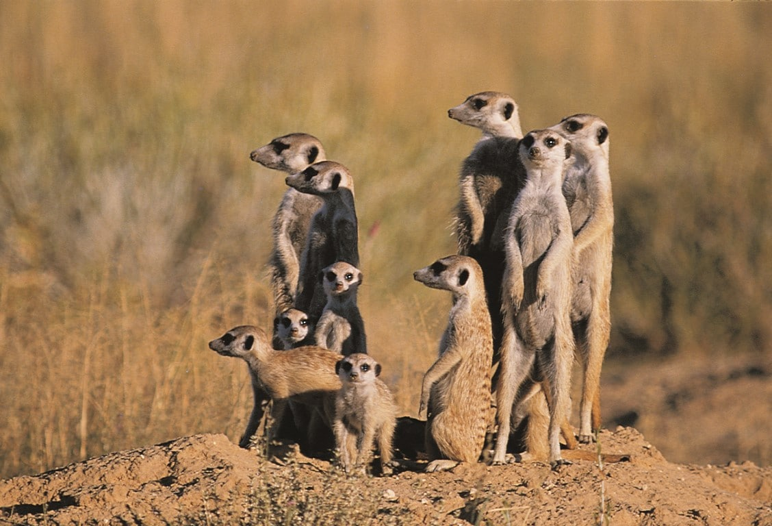 Individuele reizen Afrika - Groep stokstaartjes